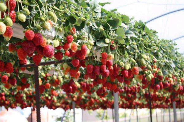 В Кашире Московской области клубнику будут выращивать в теплицах