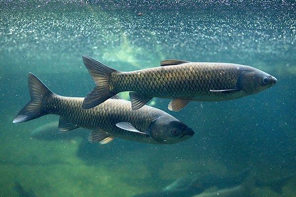 Отечественные корма для рыбоводных хозяйств разработали ученые Дальнего Востока