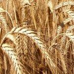 Специалисты компании «ЭкоНива» получили новый сорт озимой пшеницы