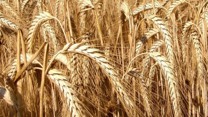"""В """"ЭкоНиве"""" вывели новый сорт озимой пшеницы"""