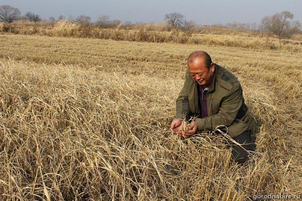Китайская компания выращивает на Дальнем Востоке сою и рис