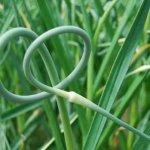 Сельхозпроизводители  Ставрополья начнут выращивать чеснок по новой технологии
