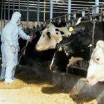 В Забайкальском крае зарегистрирована вспышка ящура