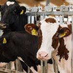 Молочно-товарный комплекс ГК «Дамате» в Тюменской области пополнилась новыми нетелями породы «голштино-фризская»