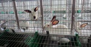 В Забайкальском крае создано крупнейшее производство мяса кроликов