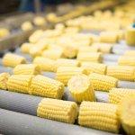 В Волгоградской области планируют ввести в эксплуатацию завод по переработке кукурузы