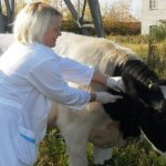 В Омской области в одном из районов зафиксировано заболевание коров лептоспирозом
