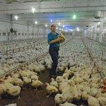 В Приморском крае инвестор восстановил деятельность единственной в регионе  птицефабрики