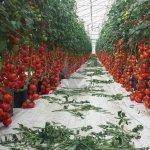 В Крыму сегодня официально откроется крупнейший на полуострове тепличный комплекс по выращиванию помидор «Белогорский»