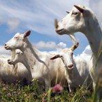 В Ульяновской области строится современная козья ферма по норвежской технологии