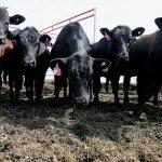 Компания «Мираторг» намерена довести стадо абердин-ангуссов в Калининградской области до 49 тысячи голов