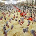 Птицеводческий комплекс «Урал» в Башкирии увеличивает производство индейки