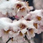 Теплая зима может стать причиной неурожая косточковых культур на Кубани