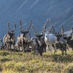 В Ямало-ненецком автономном округе не хватает пастбищ для оленей
