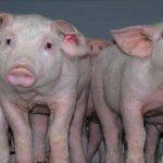 Свиноводческий комплекс «Тюменский» использует семенной материал датской компании «DANBRED PC»