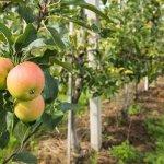Садоводческое предприятие «Белгородские яблоки» почти втрое увеличивает площадь садов