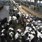 В Красноярском крае через два года появится новый  животноводческий комплекс
