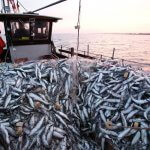 Впервые за 20 лет севастопольские рыбаки выходят на лов каспийской кильки