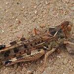 В Ростовской области ожидают нашествие марокканской саранчи