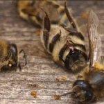 В Курской области снова гибнут пчелы