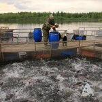 В фермерском хозяйстве Ярославской области начали выращивать балтийского сига