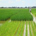 В Дагестане расширяют посевные площади риса