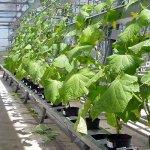 В новом тепличном комплексе Курганской области вырастили первые огурцы