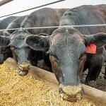 ГК «Заречное» уже летом этого года начнет экспорт мраморной говядины в Китай