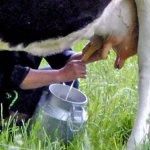 На Алтае сельчане протестуют против понижения закупочных цен на молоко