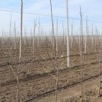 В Ставропольском крае площадь плодовых садов в этом году увеличилась на 205 га