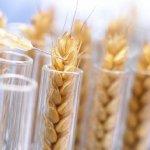 Британские ученые нашли метод повышения урожайности пшеницы в условиях повышенной температуры