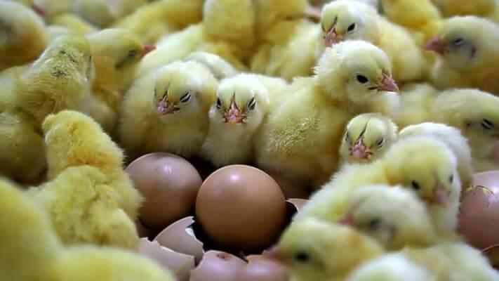 Минсельхоз России в этом году прогнозирует увеличение производства мяса птицы