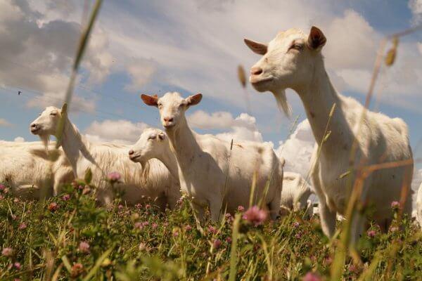 В Республике Адыгея начала действовать крупная козья ферма