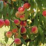 В Ставропольском крае заложили первый персиковый сад
