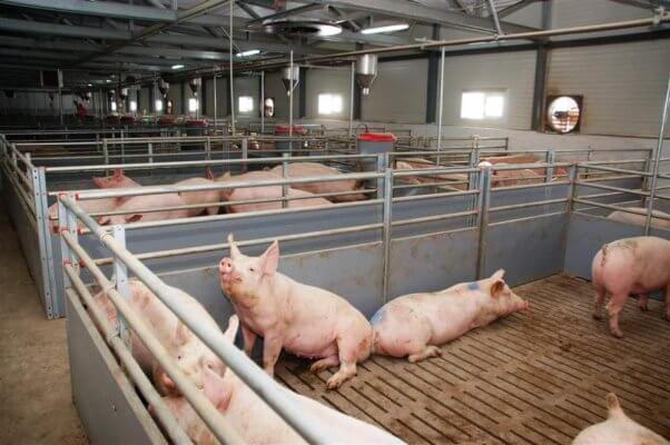 В Воронежской области ввели в эксплуатацию новый свиноводческий комплекс