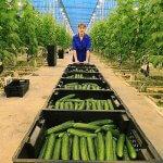В Хабаровском крае развивают тепличное производство овощей
