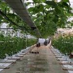 В тепличном комплексе «Тюмень-Агро» начали выращивать новый сорт огурцов
