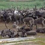 В Ямало-Ненецком автономном округе проводится эксперимент по разведению изгородных оленей