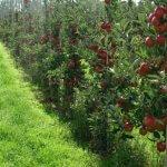В Ставропольском крае активно увеличивают площадь суперинтенсивных садов