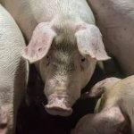 Компания «Мираторг» в сентябре выслушает мнение жителей Орловской области по вопросу строительства свинокомплексов