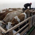 В Якутию прибыло более ста нетелей из Орловской области