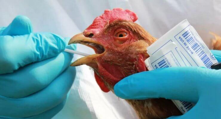 В Омской области на Иртышской птицефабрике зафиксирован очаг птичьего гриппа