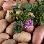 Семенной картофель впервые станут выращивать в Мурманской области