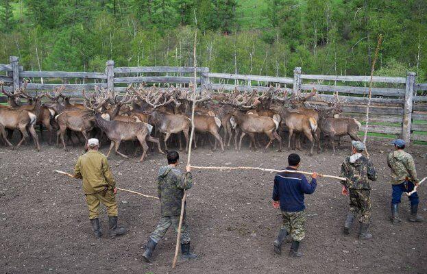В Тункинском районе Бурятии открылась маралья ферма