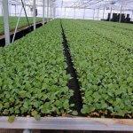 В Дагестане круглый год выращивают овощную рассаду в промышленных масштабах