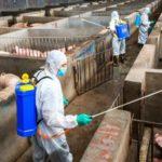 В компании «Мираторг» из-за АЧС будет ликвидировано более 10 тысяч свиней