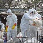 Птицеводству России снова угрожает птичий грипп