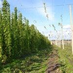 В Чувашской республике активно развивают хмелеводство