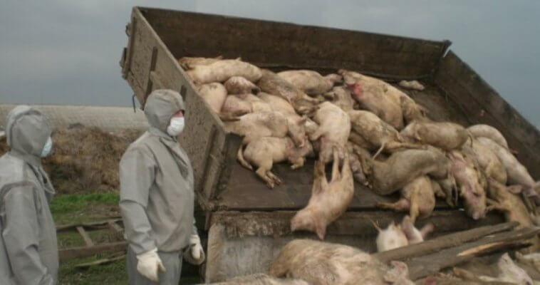 На Курском свиноводческом комплексе «Реут» утилизация животных с АЧС проводилась с нарушениями