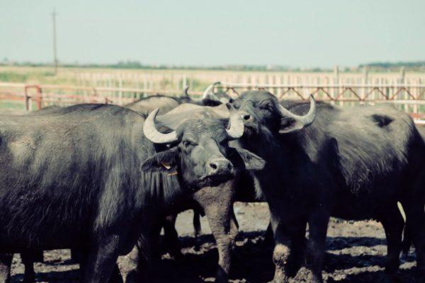 В Ставропольском крае создают буйволиную ферму